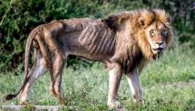 პრაიდიდან გაგდებული ლომის უკანასკნელი წუთები თვითმხილველს დიდი ხნის განმავლობაში ემახსოვრება