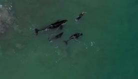 ცნობისმოყვარე ვეშაპები ზღვაში მოცურავე ქალს მიუახლოვდნენ (+ვიდეო)