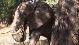 სპილო ძლიერი ტკივილისგან ხეს თავით ეჯახებოდა... მიზეზი 2 დღის შემდეგ გაირკვა