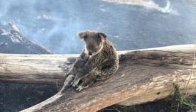 ავსტრალიაში გაჩენილმა ხანძარმა ასობით კოალას სიცოცხლე შეიწირა
