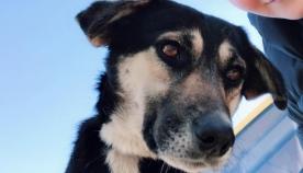 54 ნაბიჯი ბედნიერებისკენ - თბილისში, ავტობუსების მადევარმა საოცარმა ძაღლმა თბილი სახლი და მოსიყვარულე პატრონი იპოვა (+ვიდეო)