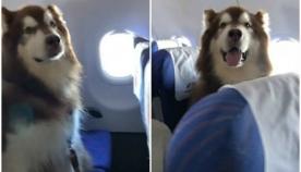 ავიაკომპანიამ თავის რეისზე უზარმაზარ მალამუტს მგზავრებთან ერთად ფრენის ნება დართო - ამას თავისი მიზეზი აქვს (+ვიდეო)