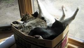 კატები, რომლებსაც ყველაზე მოულოდნელ ადგილას მოკალათება ძალიან მოსწონთ (სახალისო ფოტოები)