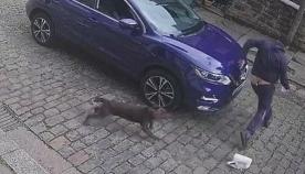 პიცის დამტარებელი ძაღლმა ისე შეაშინა, რომ ლამის შარვალი გასძვრა (+ვიდეო)