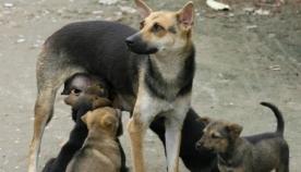 თბილისში 43 ათასი მიუსაფარი ძაღლია, ცხოველების გამრავლების კონტროლის მიზნით კანონში შესაძლოა, ცვლილებები შევიდეს