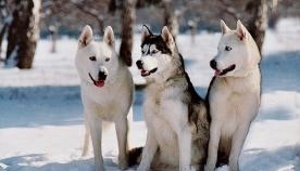 ძაღლის 11 ჯიში, რომლებიც ცივი კლიმატის დროს თავს კომფორტულად გრძნობენ