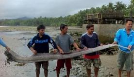 """""""ზღვის გველეშაპი"""" - ფილიპინებზე გიგანტური ქაშაყების მეფე აღმოაჩინეს (+ვიდეო)"""