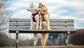 ჰასკის ჯიშის ძაღლებმა გოგონას სიცოცხლე გადაარჩინეს (+ფოტო)