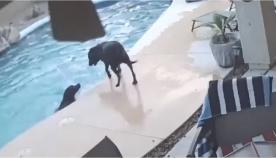 ძაღლმა გადაარჩინა მეგობარი, რომელიც აუზში იხრჩობოდა (+ვიდეო)