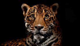National Geographic-ის ფოტოგრაფის მიერ კადრებზე აღბეჭდილი დიდი კატების გრაციოზულობა და სილამაზე