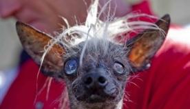 დიდი ბრიტანეთის ყველაზე მახინჯი ძაღლი მოკვდა