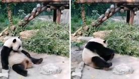 ჩინეთის ნაკრძალში დამთვალიერებელმა პანდას კენჭები ესროლა, რათა ცხოველი გაეღვიძებინა (+ვიდეო)