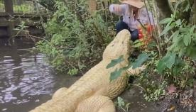 უზარმაზარ ალიგატორს მომვლელი საკუთარი ხელიდან კვებავს (უჩვეულო ვიდეო)