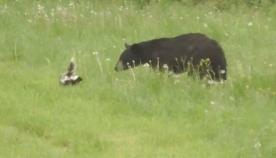 დათვმა სკუნსზე თავდასხმა გადაწყვიტა, მაგრამ რამდენიმე წამში გაქცევით თავს უშველა (სახალისო ვიდეო)