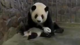 დედა პანდამ თავისი შვილი ვაშლში  გაცვალა  (სახალისო ვიდეო)