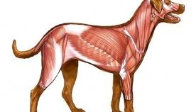 ძაღლის ანატომია და ფიზიოლოგია