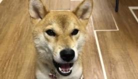 """ძაღლმა ისწავლა სიტყვა """"ჰამბურგერი"""" და ინტერნეტ მომხმარებლების აღფრთოვანება გამოიწვია (სახალისო ვიდეო)"""