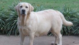 ძაღლის მშობიარობა  და პრობლემები, რამაც  ლეკვების გაჩენამდე შესაძლოა, თავი იჩინოს