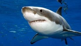 რატომ არის დიდი თეთრი ზვიგენი შავი ფერის?