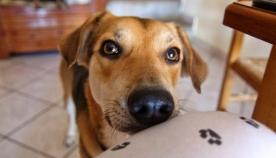 როგორ ცდილობს ძაღლი თქვენი ყურადღების მიქცევას