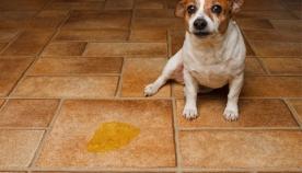 ცისტიტი - შარდის ბუშტის ანთება ძაღლებში