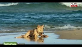 გაველურებული შინაური ძაღლი, რომელმაც საიდუმლოებით მოცული წარმომავლობით და მაღალი ინტელექტით გაითქვა სახელი - დინგოს წარსულმა უამრავი ლეგენდა წარმოშვა