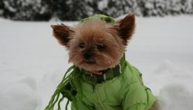 აუცილებელია თუ არა  ძაღლისთვის თბილი ტანსაცმელი?
