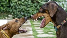 თუ ძაღლები ჩხუბობენ...