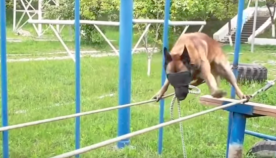 პოლიციის ძაღლმა თოკზე თვალებახვეულმა დაუბრკოლებლად გაიარა (+ვიდეო)