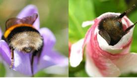 მუშაობისგან დაღლილ ფუტკრებს პირდაპირ ყვავილებში სძინავთ (ემოციური ფოტოები)