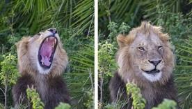 ფოტოგრაფი ლომების გადასაღებად ნაკრძალს ესტუმრა: