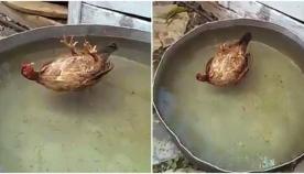 """წყლის ზედაპირზე """"წამოწოლილ"""" ქათამს, ღრმად ჩაეძინა (სახალისო ვიდეო)"""