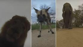 გარეული ცხოველების რეაქცია ვიდეო კამერის დანახვისას (სახალისო ვიდეო)