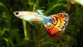 რომელი აკავარიუმის თევზი მოითხოვს მოვლისთვის ნაკლებ დროსა და სახსრებს?