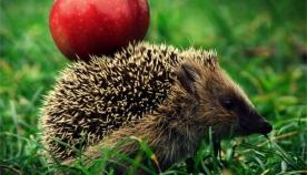 რაში სჭირდება ზღარბს ვაშლები?