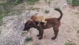 უპატრონო ლეკვმა, პოლიციის განყოფილებაში, მიტოვებული მაიმუნის ნაშიერი მიიყვანა (ემოციური ვიდეო)