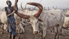 აფრიკული ტომი ძროხების გარემოცვაში ცხოვრობს, მათი რძით იკვებება, ძროხის ხორცს არასოდეს ჭამს და მათი შარდით ბანაობს