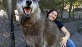 მგლისა და ძაღლის ჰიბრიდი იუკის ისტორია სევდიანი წარსულით, ის დარჩენილ წლებს თავშესაფარში მშვიდად განაგრძობს
