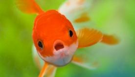 რატომ ვერ სუნთქავენ თევზები ჰაერით?