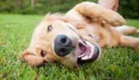 5 სულელური ქცევა - როგორ გამოხატავს ძაღლი პატრონის მიმართ სითბოსა და სიყვარულს