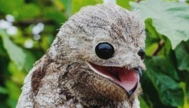 ტყის უფეხურასებრი: ყველაზე სასაცილო ფრინველის სახეობა (სახალისო ფოტოები)