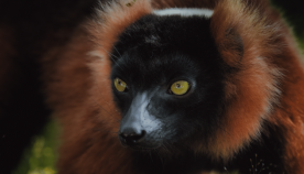მადაგასკარზე ბინადარი საოცარი ცხოველების ფოტოები