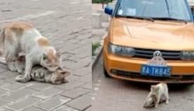 თვითმხილველმა გადაიღო კატა, რომელსაც არ სჯერა მეგობრის დაღუპვის და მას მანქანის ქვეშ მალავს (ემოციური ვიდეო)
