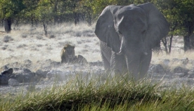 სპილომ ბრაკონიერი მეგობრების თვალწინ გათელა