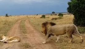 ხვად ლომს სურდა, ძუ კოცნით გაეღვიძებინა, თუმცა, ძალა ვერ მოზომა (სახალისო ვიდეო)