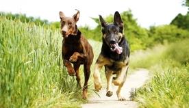 10 ნიშანი, რომ თქვენი ძაღლი ნამდვილად ბედნიერია