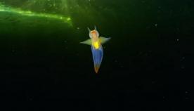 """თეთრი ზღვის ბინადარმა """"ანგელოზმა"""", რომელიც ყინულის საფარქვეშ გადაიღეს,  ინტერნეტ სივრცე მოხიბლა (უჩვეულო ვიდეო)"""