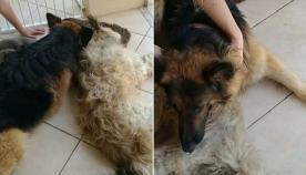 ძაღლი ცდილობს ნაოპერაციევი მეგობარი ნარკოზიდან გამოიყვანოს (ემოციური ვიდეო)