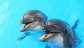 კიდევ ერთი დასტური იმისა, თუ რა საოცრად საზრიანები არიან დელფინები