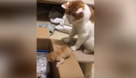 დედა კატას კნუტის საქციელზე მოთმინება ამოეწურა, რის შემდეგაც წარმოუდგენელი რამ გააკეთა (სახალისო ვიდეო)